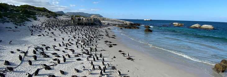 Penguin colony on Boulders Beach, Cape Town, South Africa